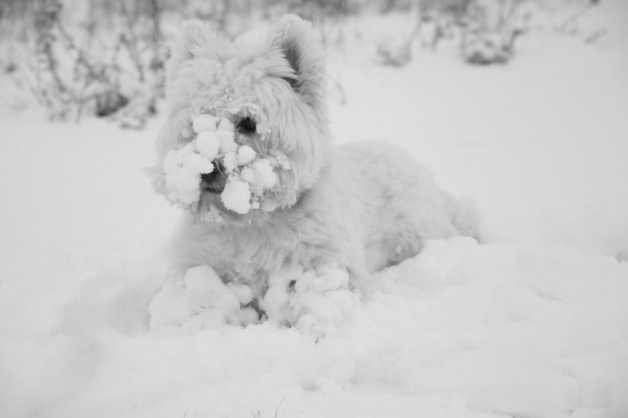 Small white dog playing in snow